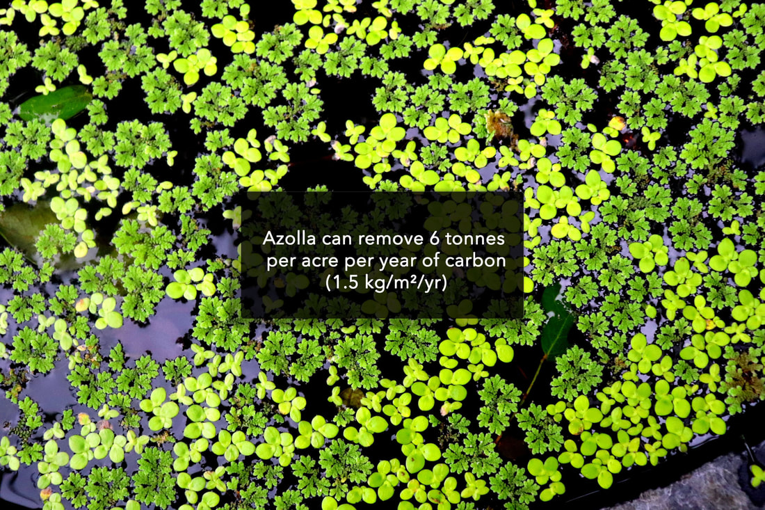 Azolla can remove 6 tonnes per acre per year of carbon (1.5 kg/m²/yr)